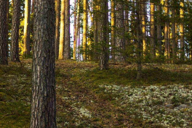 Man får upp till fem gånger så mycket skogsmark för pengarna i Baltikum jämfört med i södra Sverige.