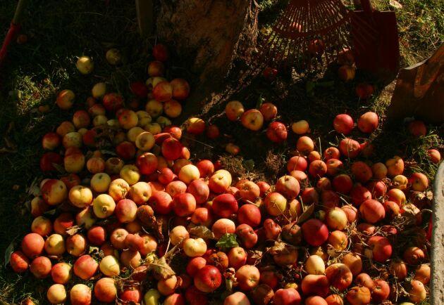 Forsbacka återvinningscentral ska börja göra biogas av fallfrukt. Men i år ser det ut att bli lite mindre av den varan efter fjolårets rekordår för äpplen.