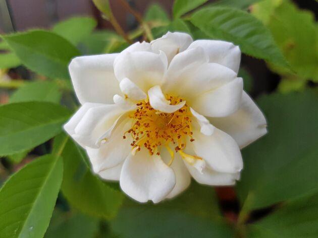 Honungsrosen Rosa Helena Hybrida lyser i skuggan. Foto: TT.