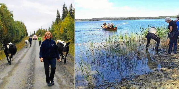 10 riktigt lokala traditioner som lever kvar i Sverige