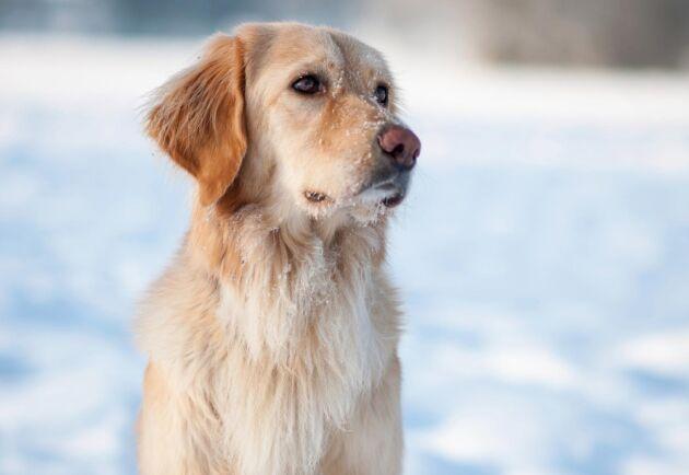 Omkring en tredjedel av Sveriges cirka 730000 hundar är skotträdda.