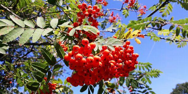 Därför är det ovanligt mycket rönnbär i år