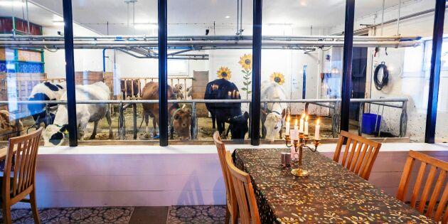 På Bälinge gård ligger restaurangen i lagården – med plexiglas till djuren