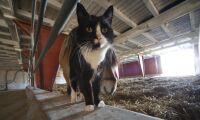 Allt fler katter smittas av salmonella