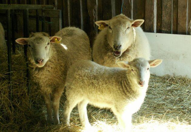 För första gången har klövsjukdomen digital dermatit hittats bland får.