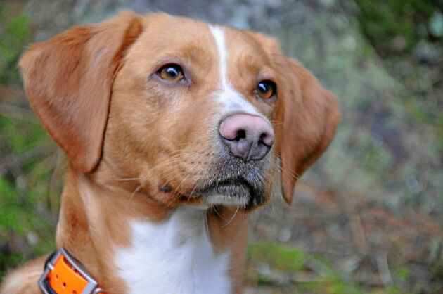Barkborrehunden Frasse är en blandning av tollare, labrador och springer spaniel.