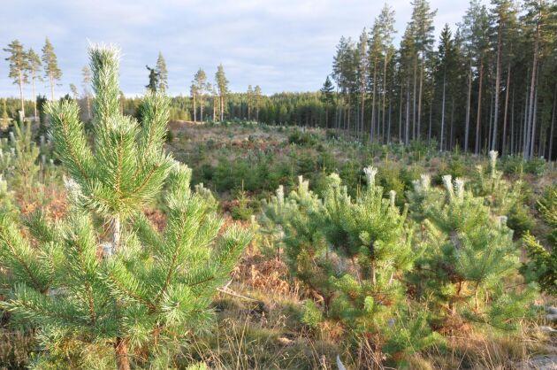 25000 tallplantor ska viltbehandlas i år på Eriksbergs gård i Valdemarsvik i Östergötland.