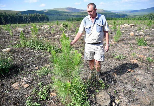 Dolos Uys från skogsbolaget TWK vid en tallplantering.