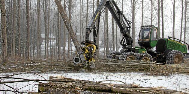 Hybridasp kan växa även på skogsmark