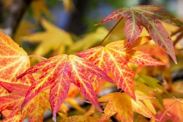 Ambraträdet bjuder på vackra höstfärger.