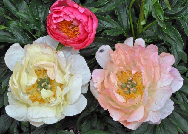 Hybriden 'Coral Sunset' i tre olika färgvarianter.