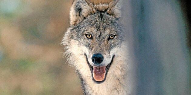 """""""Lagstiftarna inser inte hur det är att leva med vargar"""""""