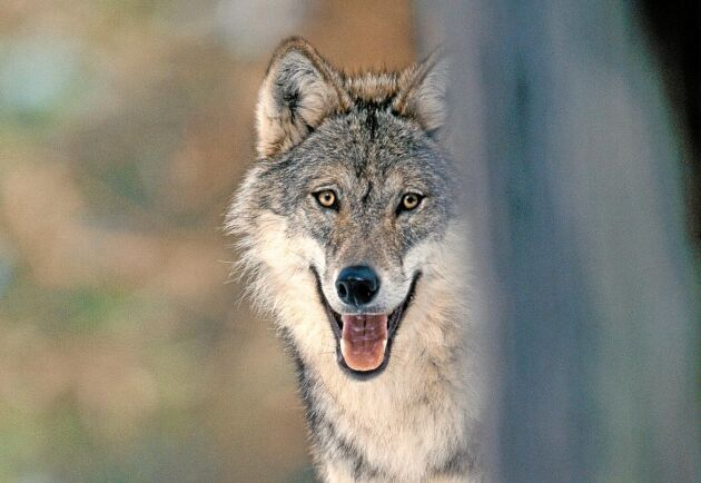 Lagstiftarna måste upplysas om vilket stort problem det är att leva nära vargen, skriver debattören Göte Lindgren.