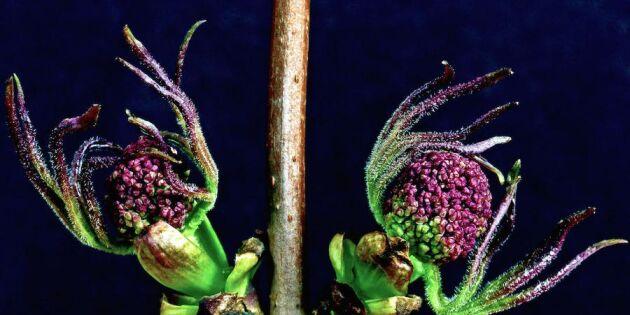 Blommande kvistar inne - så lyckas du