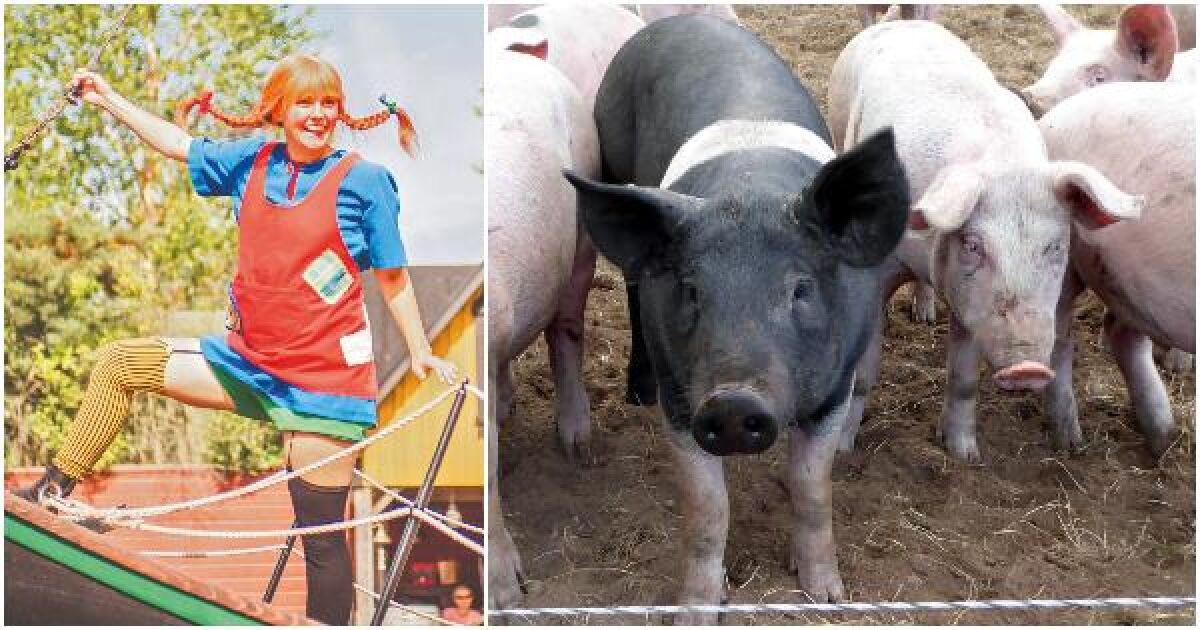 Parknedstängningen blev hårt slag för lokal grisproducent