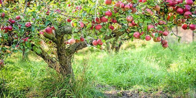 Ge gamla fruktträd nytt liv – 6 tips som räddar även de allra mest hängiga