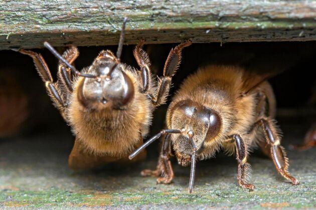 Små nallebjörnar till bin, mycket päls.