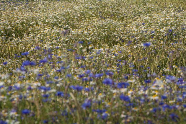 I år är det vanligt med stor förekomst av blåklint i spannmålsfälten.