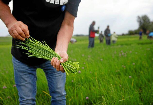 Gräslök har en strykande åtgång inför sommaren. Då behövs det personal till odlingarna (arkivbild).