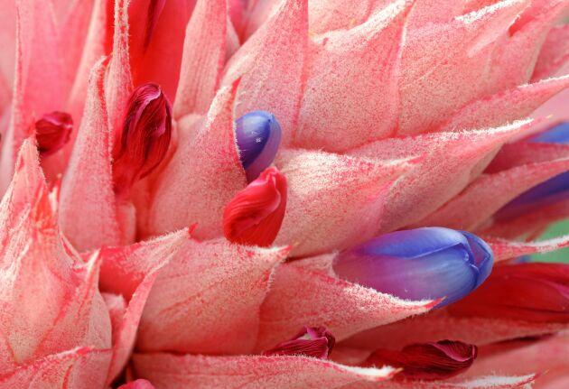 De verkliga blommorna i en blomsterananas är små, blå och rosa.