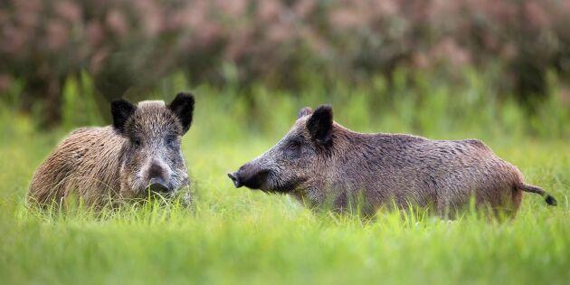 """""""Visa att LRF står på böndernas sida och sätt ned foten mot vildsvinen"""""""