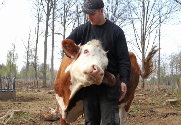 Pierre Andersson har köttkorna på hygget för att skynda på omvandlingen från skog till bete.