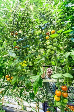Dumitru Mititelu, en av de anställda, plockar tomater i växthuset i Peckas Naturodlingar nära Härnösand.