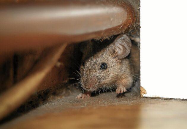 Genomföringar för vattenrör och elementrör är vanliga ingångar för möss. Täta först, sätt fällor sen.