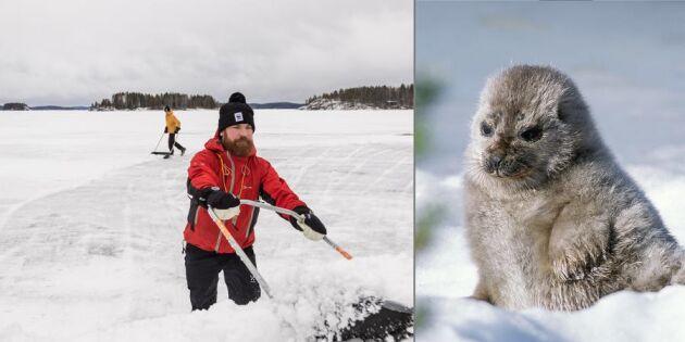 De skottar snö för att hjälpa sälungarna