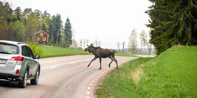 Forskning visar: Inte jaktens fel att älgolyckor ökar på hösten