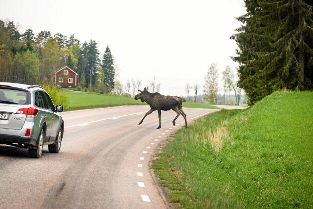 En ung älgtjur på väg över vägen. Här höll bilföraren en sansad hastighet och hann stanna utan problem.