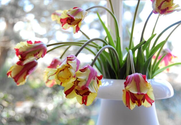 Nu går det uppåt för tulpaner som går ner. Stilen visar inte bara upp blommorna, de sirliga stjälkarna får också synas. Foto: Blomsterfrämjandet