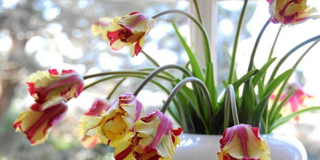 Nya växttrenden: Inred med slokiga tulpaner