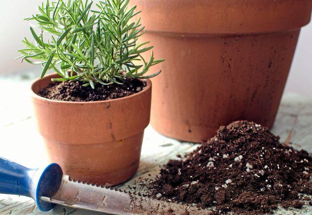Väldränerad jord är ett måste för rosmarin. Gärna med perlit.
