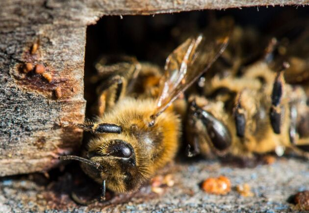 Bin och humlor, men även getingar, flugor, fjärilar och skalbaggar, är livsviktiga pollinatörer. Nu visar siffror att 40 procent av världens insektsarter är på nedgång.
