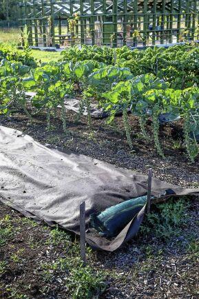 När skörden är bärgad läggs ny kompost på odlingsbäddarna som också förses med markduk till nästa säsong.
