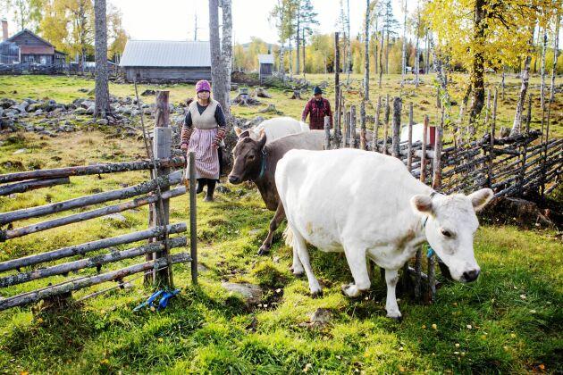 På senhösten tas de fem fjällkorna, kalven och tjuren hem från skogsbetet.