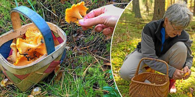 Hopp om ett bra svampår – så ser läget ut i skogen