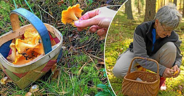 Den bästa svampmånaden är september, men redan nu finns det kantareller i skogarna.