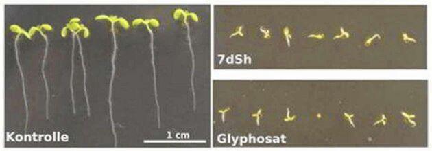 Sju dygn gamla groddplantor av backtrav. De uppe till höger har behandlats med sockermolekylen 7dSh och de nedan till höger med 260 μM glyfosat.Nere till vänster syns obehandlade plantor i kontrollgruppen. Skalan är den samma i alla bilderna.