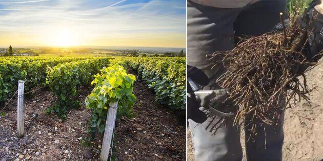 Svenskt vin - snart i var mans glas