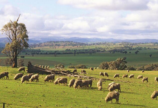 Får ute på bete i New South Wales, Australien. Delstaten har nu skärpt straffen för aktivister som gör intrång på gårdar.