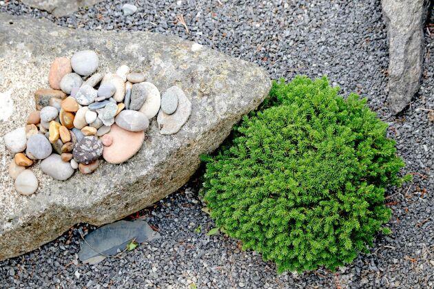 Växter och sten är passar ihop. Den lilla granen 'Dagö' är en häxkvast.