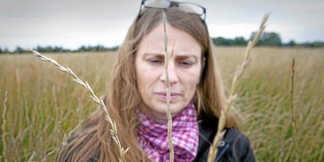 Ny flerårig gröda testas i Sverige