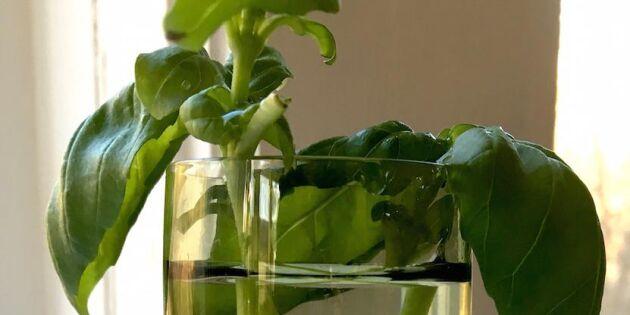 Smart evighetsodling: Köp en kruka basilika och få massor