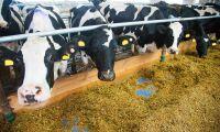 Ljusa tider för mjölkbönder – men effekten dröjer i Norrbotten