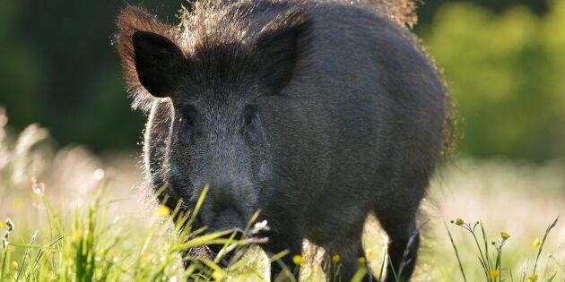 Jägarna ratar vildsvin – måste bekosta cesiumprov själva
