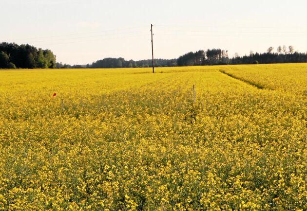 Nytt för i år är att svenska odlare får använda tillväxtreglerande medel för höstraps.