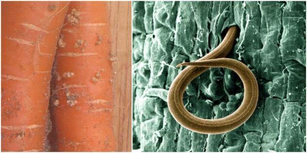 Angripna morötter samt rotgallnematod av typen meloidogyne chitwoodi.