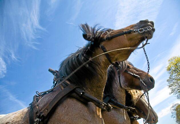 Nytt centrum underlättar för kommuner som vill upphandla hästdragna entreprenadtjänster. Arkivbild.